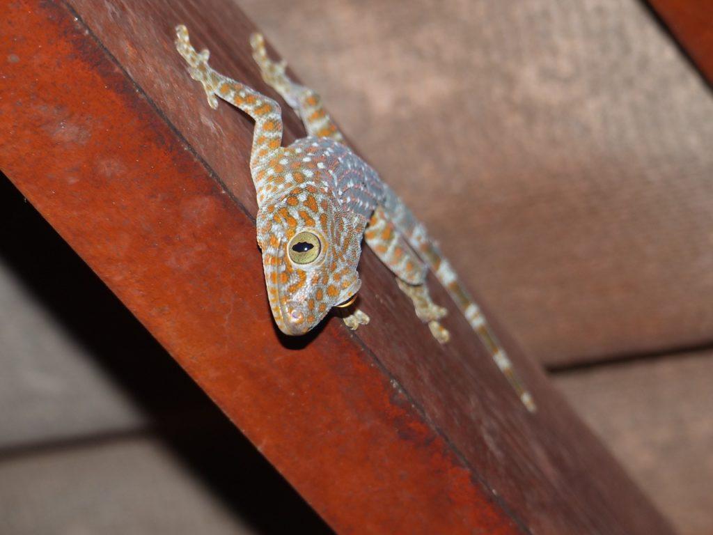 gecko-koh-chang